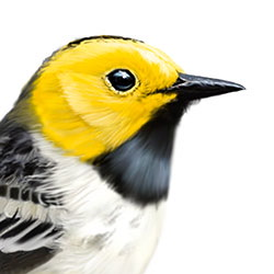 Hermit Warbler Head Illustration.jpg