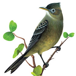 Greater Pewee Body Illustration
