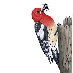 Red-breasted Sapsucker Body Illustration