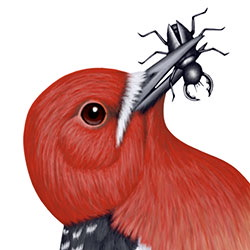 Red-breasted Sapsucker Head Illustration
