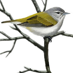 Tennessee Warbler Body Illustration