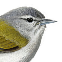 Tennessee Warbler Head Illustration