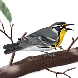 Yellow-throated Warbler Body Illustration