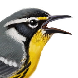 Yellow-throated Warbler Head Illustration