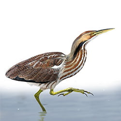 American Bittern Body Illustration