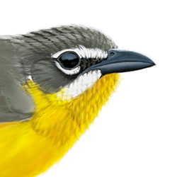 Yellow-breasted Chat Head Illustration