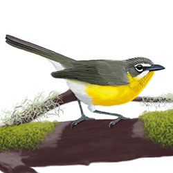 Yellow-breasted Chat Body Illustration