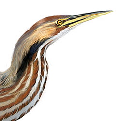 American Bittern Head Illustration