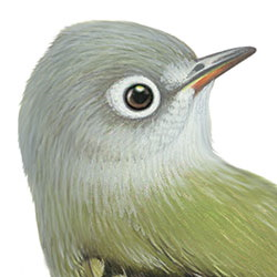 Hammond's Flycatcher Head Illustration