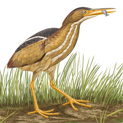 Least-Bittern Body Illustration