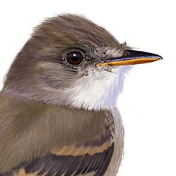 Willow Flycatcher Head Illustration