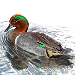 Green-winged Teal Body Illustration