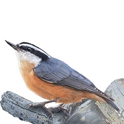 Red-breasted Nuthatch Body Illustration.jpg