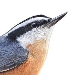 Red-breasted Nuthatch Head Illustration