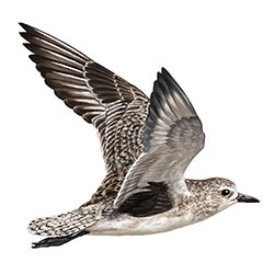 Black-bellied Plover Flight Illustration.jpg