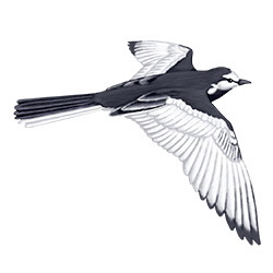 White Wagtail Flight Illustration