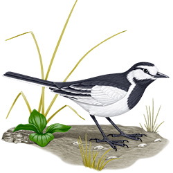 White Wagtail Body Illustration