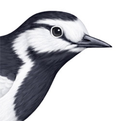 White Wagtail Head Illustration