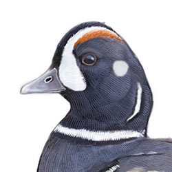 Harlequin Duck Head Illustration.jpg