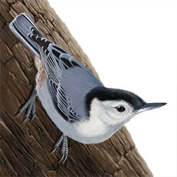 White-breasted Nuthatch Body Illustration