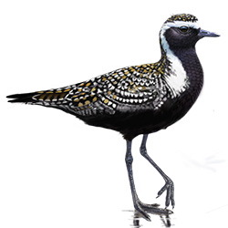 American Golden-Plover Body Illustration