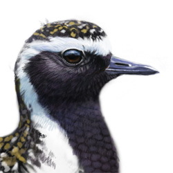 American Golden-Plover Head Illustration