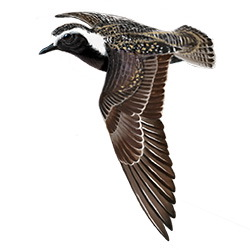 American Golden-Plover Flight Illustration