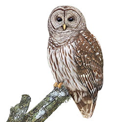 Barred Owl Body Illustration.jpg