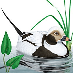 Long-tailed Duck Body Illustration