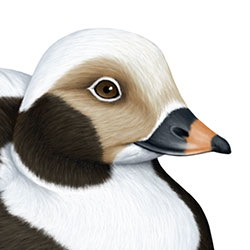 Long-tailed Duck Head Illustration
