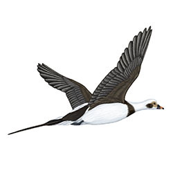 Long-tailed Duck Flight Illustration