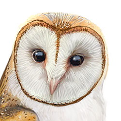 Barn Owl Head Illustration.jpg