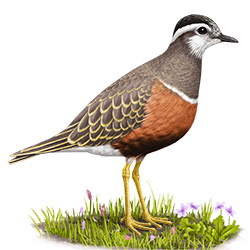 Eurasian Dotterel Body Illustration
