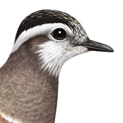 Eurasian Dotterel Head Illustration