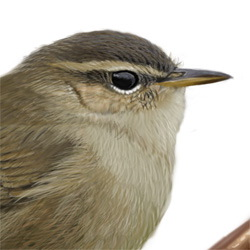 Dusky Warbler Head Illustration