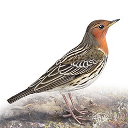 Red-throated Pipit Body Illustration