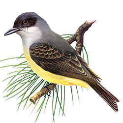 Thick-billed Kingbird Body Illustration