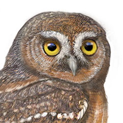 Elf Owl Head Illustration.jpg