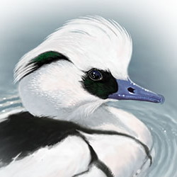 Smew Head Illustration