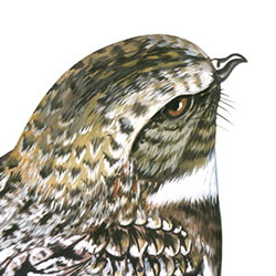 Common Poorwill Head Illustration