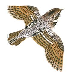 Common Poorwill Flight Illustration