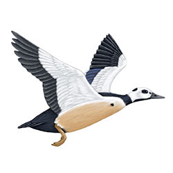 Steller's Eider Flight Illustration
