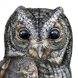 Flammulated Owl Head Illustration
