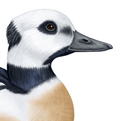 Steller's Eider Head Illustration