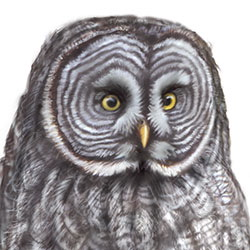 Great Gray Owl Head Illustration