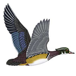 Wood Duck Male Flight Illustration