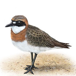 Lesser Sand-Plover Body Illustration