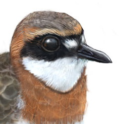 Lesser Sand-Plover Head Illustration