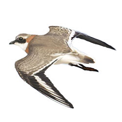 Lesser Sand-Plover Flight Illustration