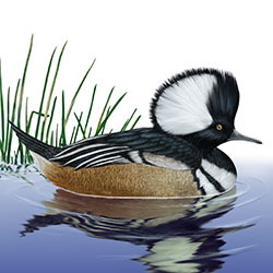 Hooded Merganser Body Illustration